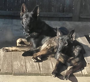 east german shepherd sable dogs
