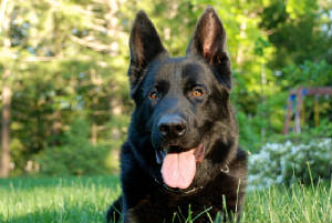 training german shepherd dogs