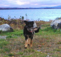 german shepherd dogs in new england