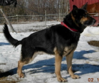 german sheherds in new england